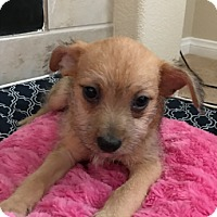 Adopt A Pet :: Victor Stone - Las Vegas, NV