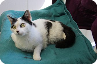 Domestic Shorthair Cat for adoption in Greensboro, North Carolina - Tink