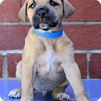Adopt A Pet :: Ant - Waldorf, MD