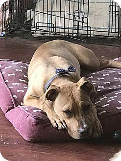 American Pit Bull Terrier Mix Dog for adoption in Virginia Beach, Virginia - Peanut