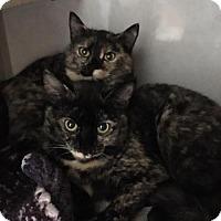 Adopt A Pet :: Cici - Templeton, MA