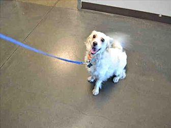 Spaniel (Unknown Type)/Corgi Mix Dog for adoption in Encino, California - Minchu