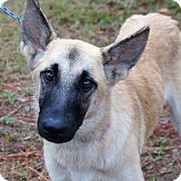 German Shepherd Dog/Belgian Malinois Mix Dog for adoption in Bauxite, Arkansas - Brady