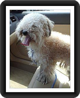 Bichon Frise Dog for adoption in Tulsa, Oklahoma - Adopted!! Jasper - IL