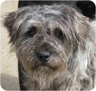 Schnauzer (Standard)/Poodle (Standard) Mix Dog for adoption in Poway, California - Cricket