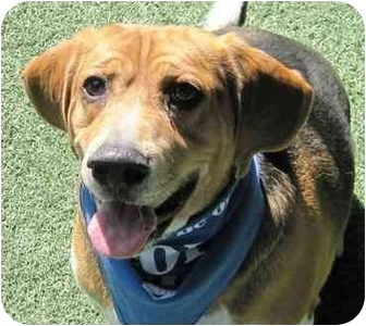 Beagle Dog for adoption in San Diego, California - Dash