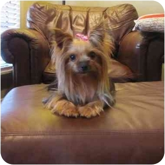 Yorkie, Yorkshire Terrier Dog for adoption in Baton Rouge, Louisiana - Sophia