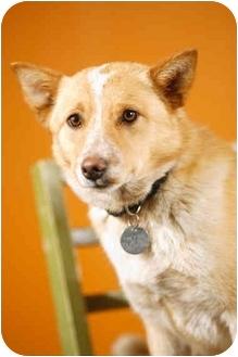 Australian Cattle Dog/Corgi Mix Dog for adoption in Portland, Oregon - Rosie