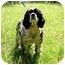 Photo 2 - Cocker Spaniel Mix Dog for adoption in Peachtree City, Georgia - Bismarck