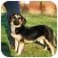 Photo 1 - Dachshund/German Shepherd Dog Mix Puppy for adoption in Bowie, Maryland - Casey