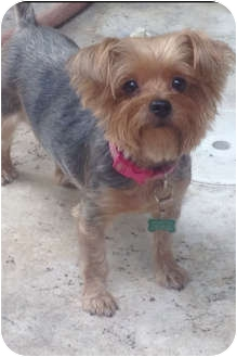 Yorkie, Yorkshire Terrier Dog for adoption in Key West, Florida - Amy