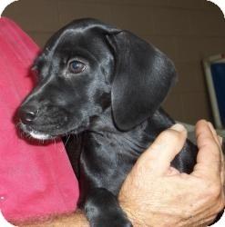Labrador Retriever Mix Puppy for adoption in Gaffney, South Carolina - Gumdrop
