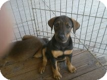 Shepherd (Unknown Type) Mix Puppy for adoption in Las Vegas, Nevada - Rockit's Itsy