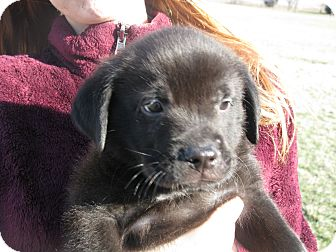 Labrador Retriever/Golden Retriever Mix Puppy for adoption in Indianapolis, Indiana - Abner
