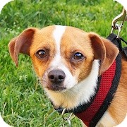 Chihuahua/Dalmatian Mix Dog for adoption in San Diego, California - Mario