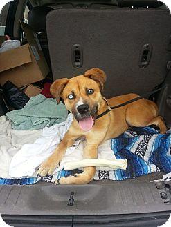 Siberian Husky/Boxer Mix Puppy for adoption in Vidalia, Georgia - Luca
