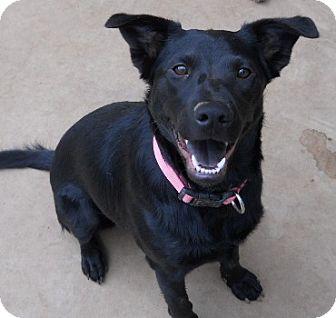 Chow Chow/Setter (Unknown Type) Mix Dog for adoption in dewey, Arizona - Jada