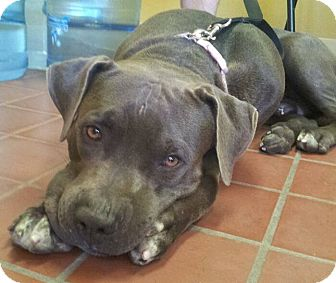 American Pit Bull Terrier Mix Dog for adoption in Scottsdale, Arizona - Aries