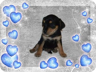 Yorkie, Yorkshire Terrier/Poodle (Miniature) Mix Puppy for adoption in Quincy, Indiana - 4 Male Puppies