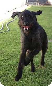 Labradoodle Mix Dog for adoption in Santa Ana, California - Yankee