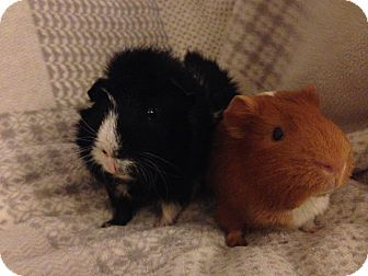 Guinea Pig for adoption in Fullerton, California - Rufus and Hollice