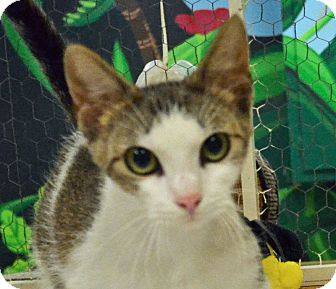 Domestic Shorthair Cat for adoption in Searcy, Arkansas - Jada