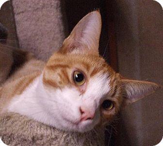 Domestic Shorthair Cat for adoption in Lenexa, Kansas - Pacino