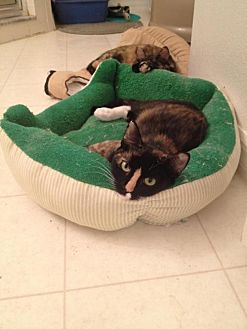 Calico Cat for adoption in St. Cloud, Florida - Amber