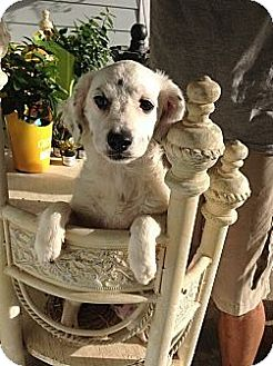 Poodle (Miniature)/Spaniel (Unknown Type) Mix Puppy for adoption in Santee, California - Baby