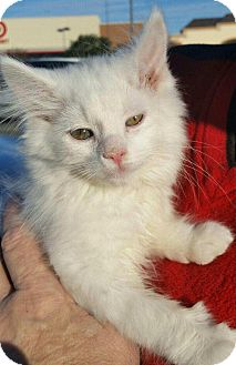 Domestic Longhair Kitten for adoption in Charlotte, North Carolina - A..  Odie