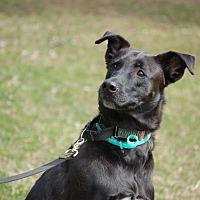German Shepherd Dog/Border Collie Mix Dog for adoption in Warwick, New York - Bruce