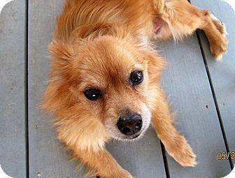Pomeranian Mix Dog for adoption in Gilbert, Arizona - Rusty