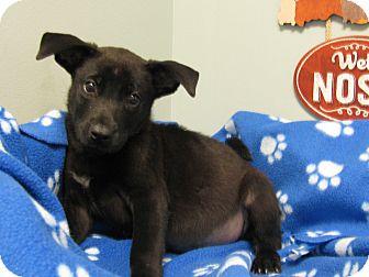 Labrador Retriever Mix Puppy for adoption in Groton, Massachusetts - Asher