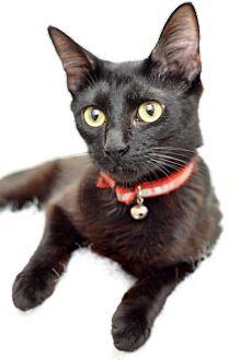Domestic Shorthair Cat for adoption in Santa Clarita, California - Blanca