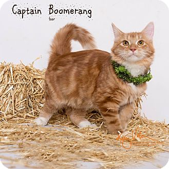 Ragdoll Kitten for adoption in Riverside, California - Captain Boomerang