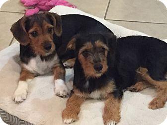 Yorkie, Yorkshire Terrier/Cavalier King Charles Spaniel Mix Dog for adoption in Katy, Texas - Elliot