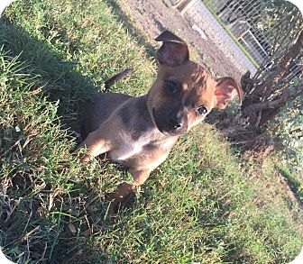 Chihuahua Mix Puppy for adoption in Conesus, New York - Simon