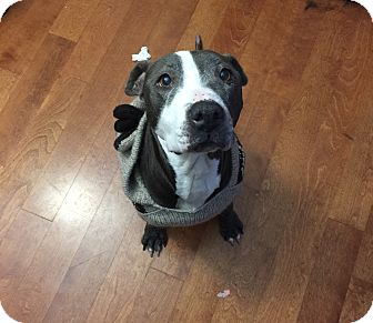 Pit Bull Terrier Mix Dog for adoption in Indianapolis, Indiana - Eleanor