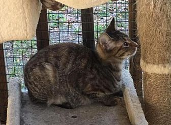 Domestic Shorthair Cat for adoption in Crestview, Florida - Snickerdoodle