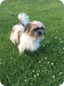 Shih Tzu/Yorkie, Yorkshire Terrier Mix Puppy for adoption in South Elgin, Illinois - Maddie
