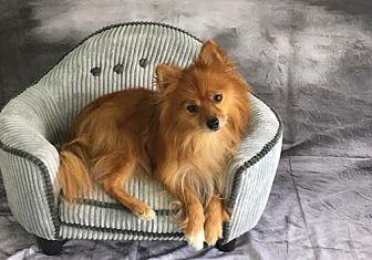 Pomeranian Dog for adoption in Dallas, Texas - Parker 2017