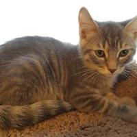 Domestic Mediumhair/Domestic Shorthair Mix Cat for adoption in Mesa, Arizona - TOMMY