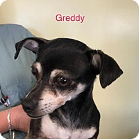 Adopt A Pet :: Greddy - Willows, CA