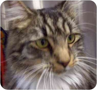 Maine Coon Cat for adoption in Annapolis, Maryland - Aslan