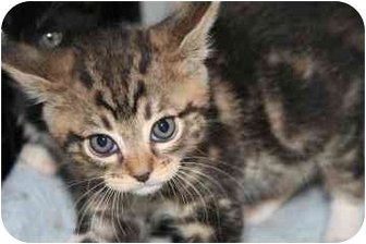 Domestic Shorthair Kitten for adoption in tucson, Arizona - Bitsy