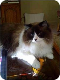 Ragdoll Cat for adoption in Newburgh, Indiana - Sammy