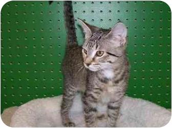 Domestic Shorthair Cat for adoption in Sheboygan, Wisconsin - Honey