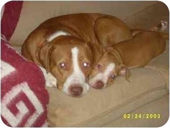 American Pit Bull Terrier/American Pit Bull Terrier Mix Dog for adoption in Sacramento, California - Brandy the red nose girl