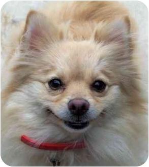 Pomeranian Dog for adoption in Kokomo, Indiana - Heidi