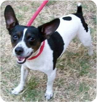 Rat Terrier/Chihuahua Mix Dog for adoption in Tahlequah, Oklahoma - Blackie aka Mr. Big